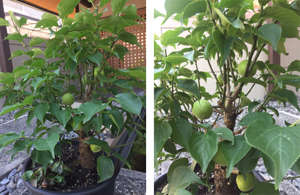 正月飾りに求めた鉢植えの梅の木